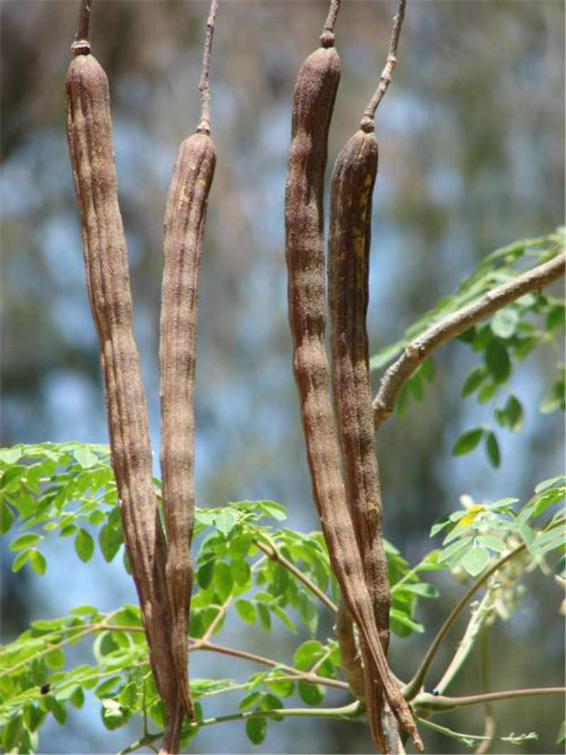 10 pcs/ bag Indian Moringa Bonsai Edible Ornamental Flores Home Garden Plant Outdoor Garden Tree Plantas for Flower Pot Planter
