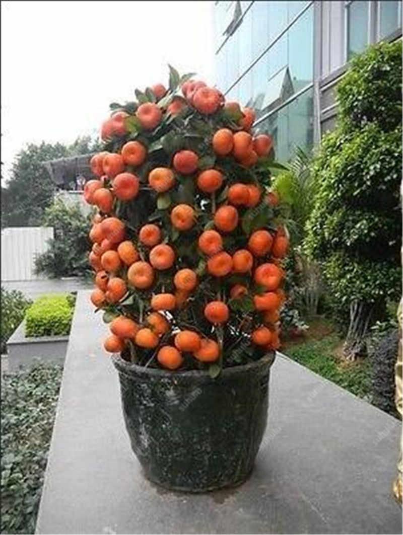 Bonsai 20 Pcs Oranye Pot Dimakan Tangerine Buah Jeruk Dwarf Orange Tree Tanaman Dalam Ruangan untuk Taman Rumah Non GMO tanaman