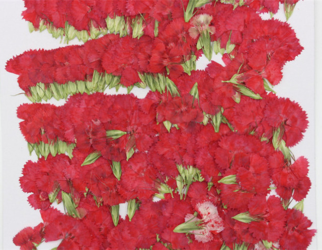e2a28161c061 1000pcs Red Pink   Dianthus For christmas flowers decorations Dried Raw  Material DIY Decoration free shipment