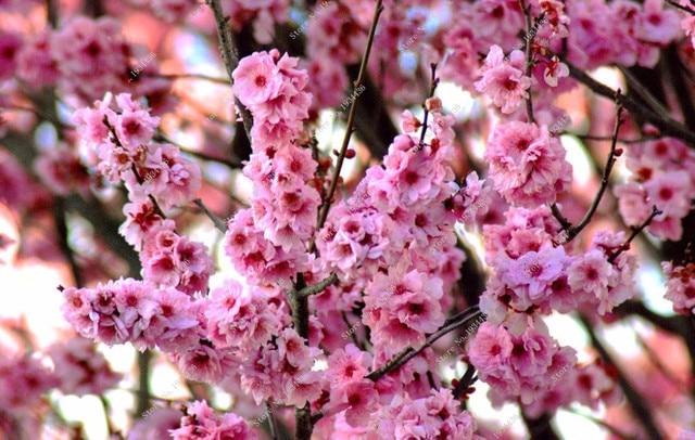 Fleurs sakura - Arbre japonais rose ...