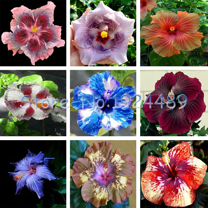 En Pot Hibiscus-Achetez des lots à Petit Prix En Pot Hibiscus en ...