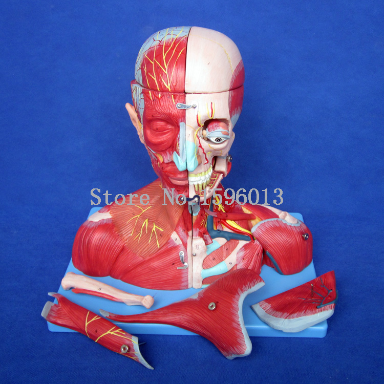 HOT Head and Neck with Vessels, Nerves and Brain Model, Anatomical Model of Head and Brain economic half head with vessels model anatomical head model with brain nerves vascular muscles and vessels