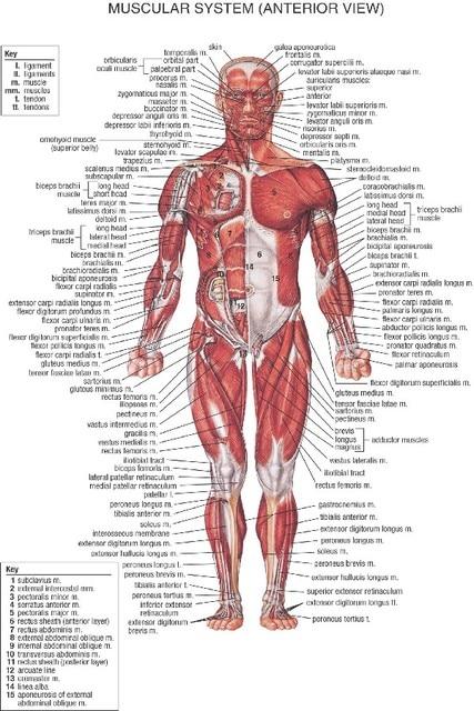 DIY marco Anatomía Humana músculo anter anatomía arte carteles y ...