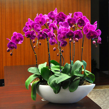 100 pcs Butterfly orchid flower room indoor and outdoor desktop flower green plant potted bonsai clan orchid orchid flower Seeds