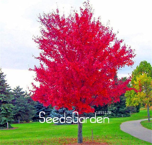 100 unidades/pacote Chegada Nova! Red Planta Árvore De Bordo Japonês Bonito flores Bonsai Garden Decor DIY Planta Casa