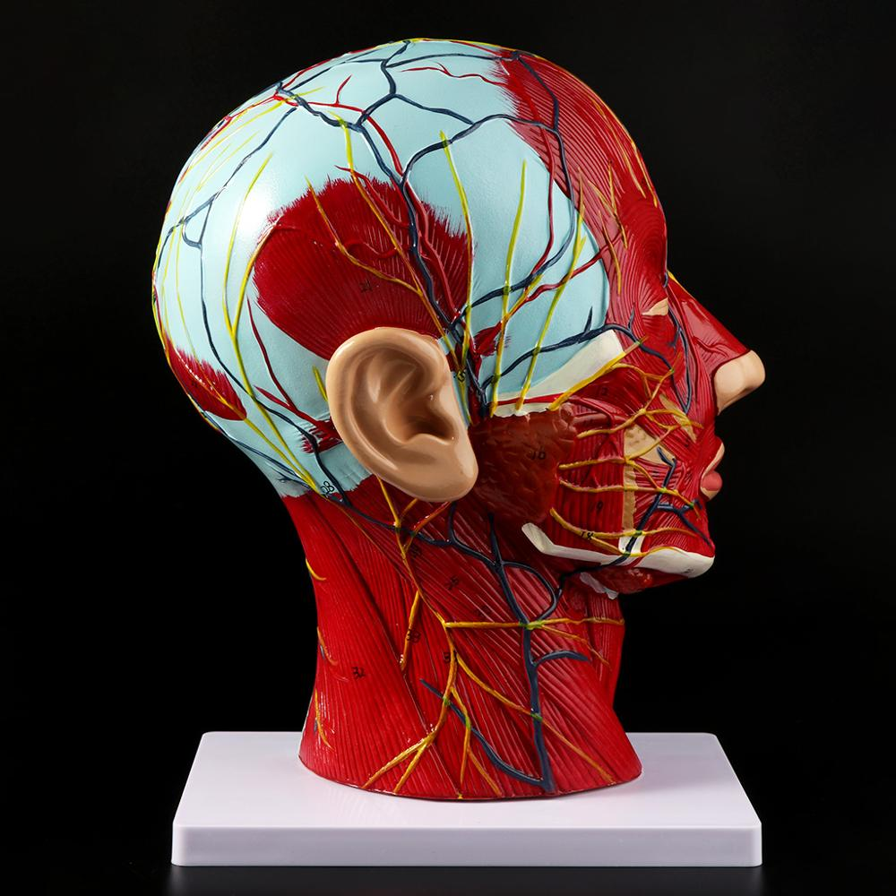 Human Anatomical Half Head Face Anatomy Medical Brain Neck Median Section Study Model Nerve Blood Vessel