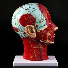 Study-Model Brain-Neck Face-Anatomy Teaching Half-Head Median-Section Nerve-Blood-Vessel