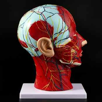 Human Anatomical Half Head Face Anatomy Medical Brain Neck Median Section Study Model Nerve Blood Vessel For Teaching - DISCOUNT ITEM  17 OFF Education & Office Supplies