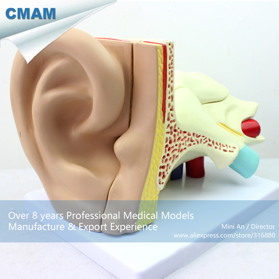 12520 CMAM-EAR05 Medical Human Anatomical Giant Ear Model,4 times Enlarge Ear models, 5 Parts, Ear Models iso new style giant ear model anatomical ear model