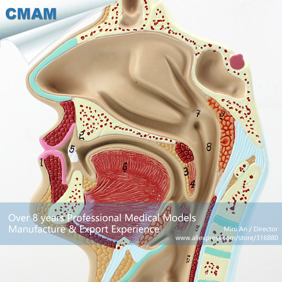 CMAM-THROAT05 Human Nasal Cavity Oral Longitudinal Anatomy Model,  Medical Science Educational Teaching Anatomical Models cmam viscera01 human anatomy stomach associated of the upper abdomen model in 6 parts