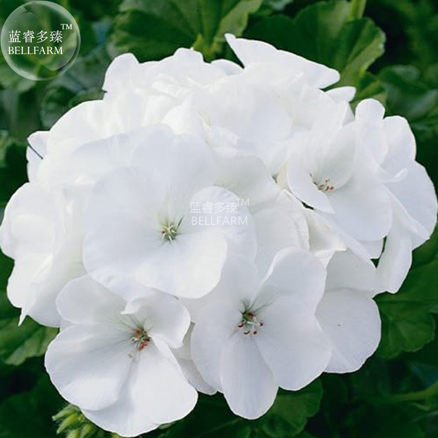 White flower gardens promotion shop for promotional white flower bellfarm geranium maverick white perennial flower seeds 10 seeds striking pure white flowers big blooms home garden dhlflorist Image collections