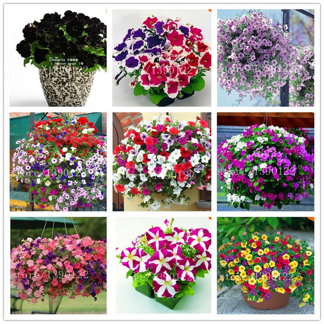 100 pcs Garden Petunia petals flower seeds for garden petunia semillas de petunias flower seeds rare for DIY home garden