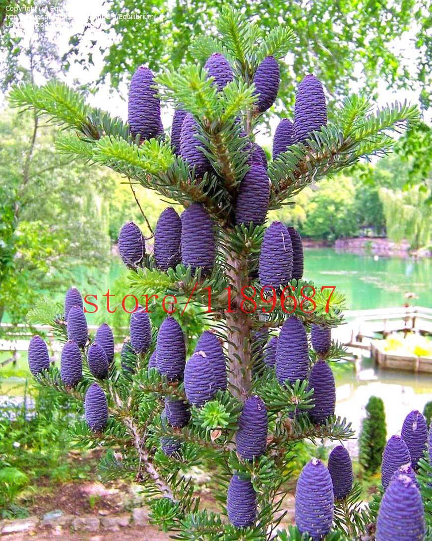 prpura corea semillas de abeto abies koreana de rbol de los bonsai semillas sembrar durante
