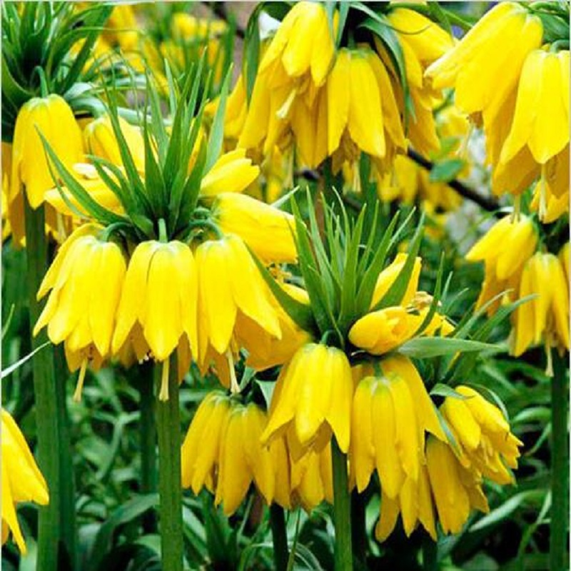 50 seeds Yellow Imperial Crown Seeds Fritillaria imperialis Lutea Seeds Easy To Grow  Plant