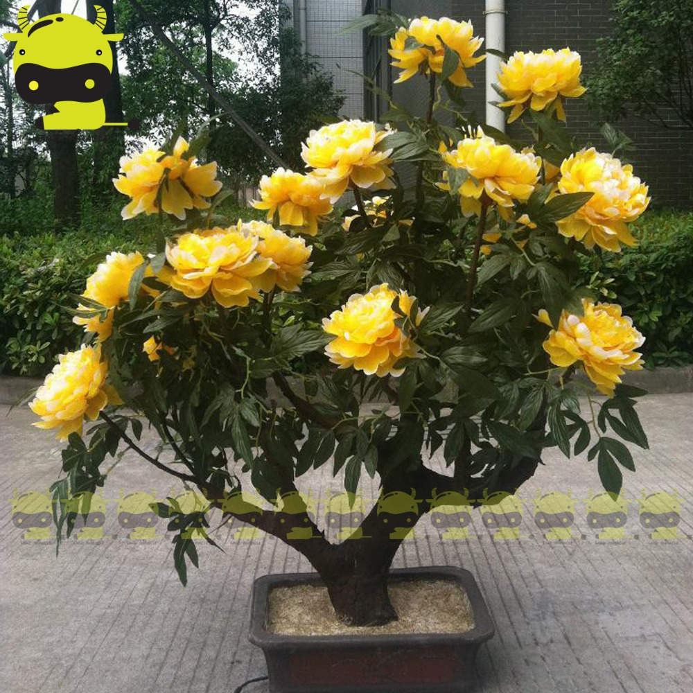 Golden Blooms Peony Bonsai Seed 5 Seedspack Strong Fragrant