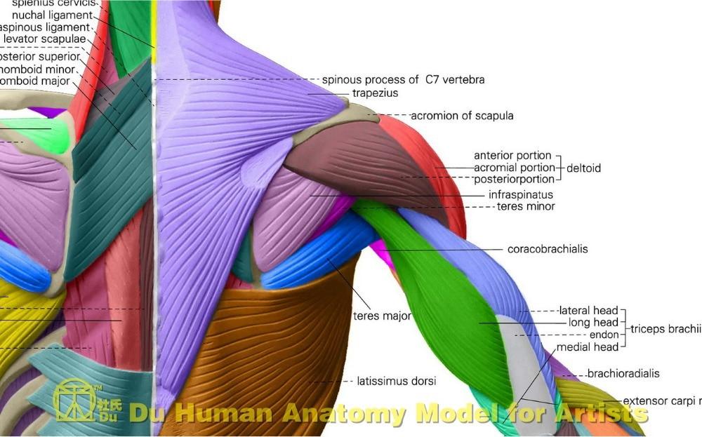Massage Anatomy Diagram Wiring Circuit
