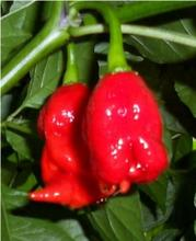 20 Seeds Bhut Jolokia chilli Ghost Chilli Ghost Chile Seeds(China)