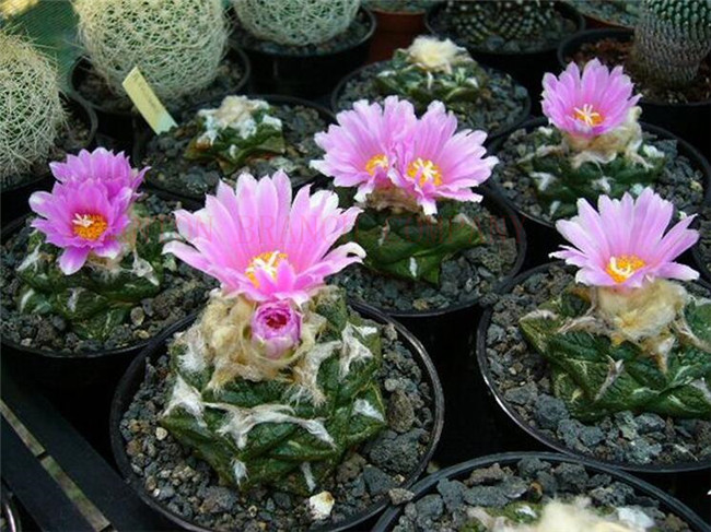 Hot selling Germany KK lithops seesds in total 2 pcs Ariocarpus fissuratus seeds perennial succulent flower seeds for garden