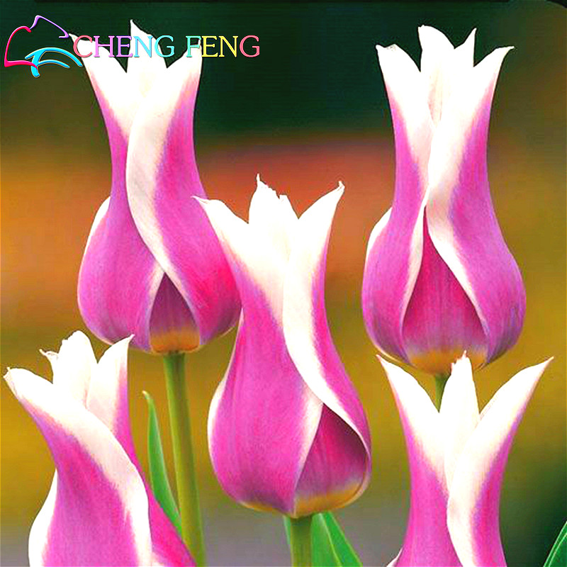50 Pcs High-grade Flower Seeds Garden Tulip Seed Bonsai Seeds Balcony Pot Most Beautiful * Colorful Plants Seed Not Flower Bulbs