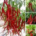 200 семена Гигантские Специи Пряный Красный Острый Перец Чили Семена Растения в горшках бонсай сад во внутреннем дворике балкон растений семена Нового Прибытия