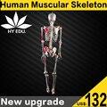 Modelo de esqueleto humano com ligamento conjunta e colorido muscular