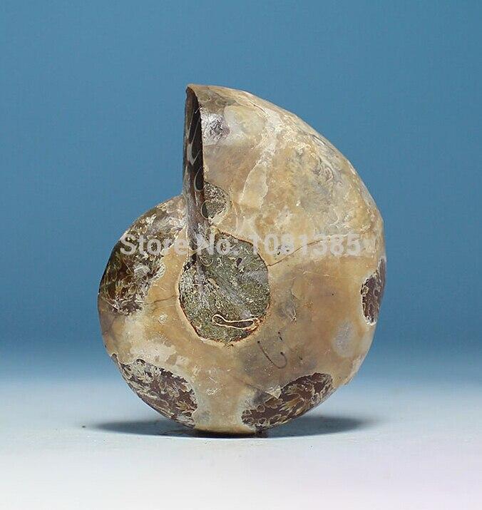 FOSSIL MADAGASCAR AMMONITE - SIZE 30 - 40mm 2