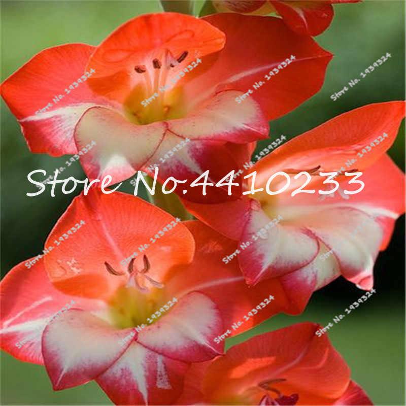 Rainbow 100 Pcs Rare Shape Gladiolus Bonsai Tohum Flower Bonsai Plant Beautiful Home Japanese Flores Bonsai For Garden Gift Love