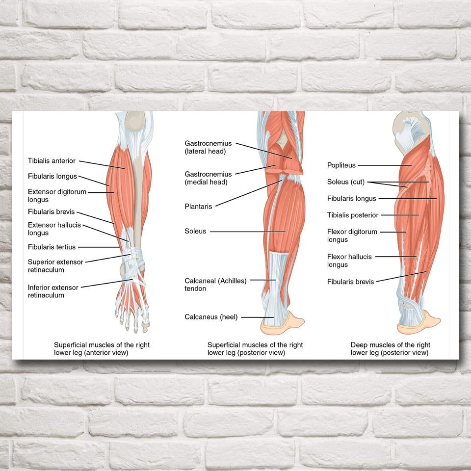 Anatomy Veins Arteries Skeleton Muscles Art Silk Poster HomeDecor ...