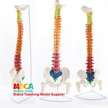 Ceinture de massage de la colonne vertébrale humaine, 85CM, modèle d'enseignement médical, MJZ201