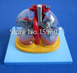 SALES Transparent lung, trachea and bronchial tree with heart model
