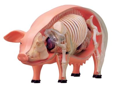 4 DMASTER anatomisches modell der schwein schwein modell tier modell ...