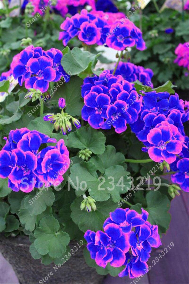 New Blue And Pink Planting Geraniums Sementes De Flores