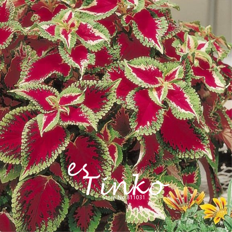 high quality plants coleus promotionshop for high quality, Beautiful flower