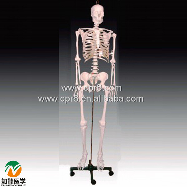 BIX-A1002 84cm Human Skeleton Model  MQ194 bix a1005 human skeleton model with heart and vessels model 85cm wbw394