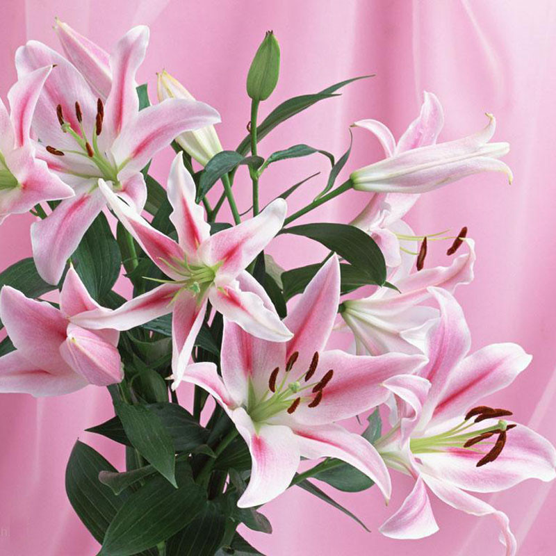 High Quality 120PCS Potted Perennial Flower Seeds Lily Oriental Boogie Woogie DIY Home Garden Seeds