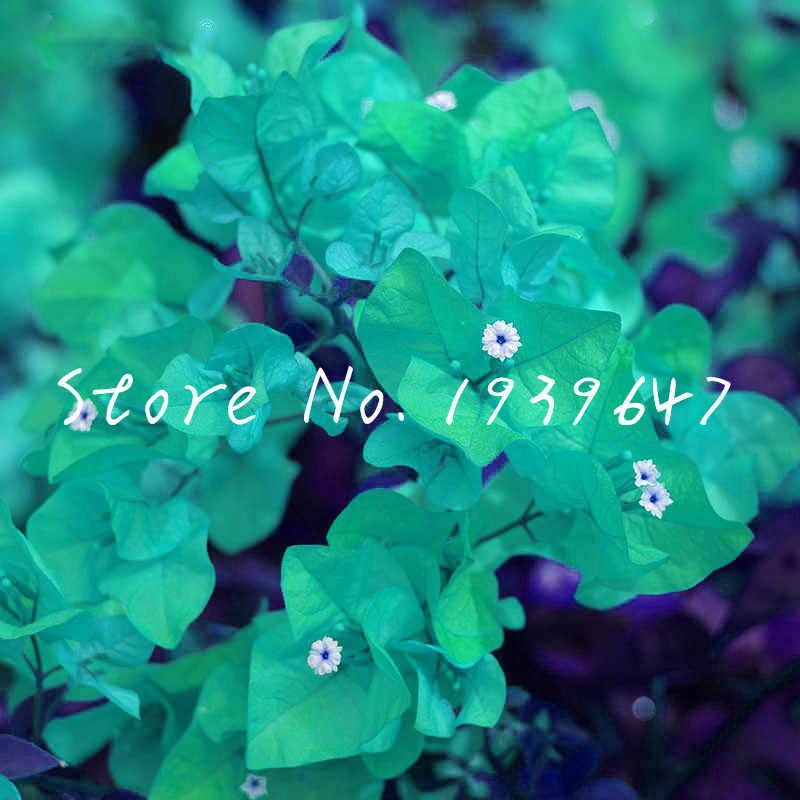 عرض ساخن! 100 قطعة بونساي بوغانفيل سبيكتبيليس حديقة Sementes دي فلوريس النباتات المعمرة المزهرة بونساي بلانتاس