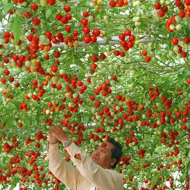 1 pacco 100 piante/Pacchetto Perenne di Pomodoro Gigante Alberi All'aperto Serra