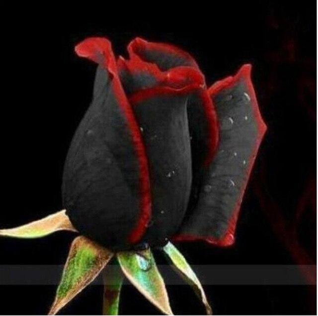 100 piezas de flor de Rosa de bonsái negro con borde rojo flores de rosas raras bonsái para la plantación de bonsái de jardín