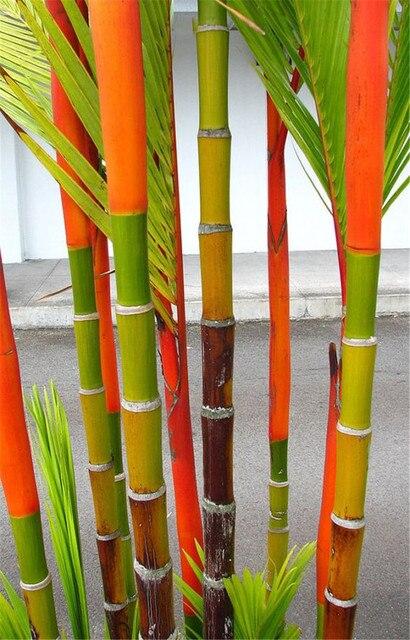 40 pz di Bambù Cinese rare Phyllostachys Pubescens Rare Gigante di Bambù bonsai Bambusa Lako Albero Per La Casa Giardino Impianto