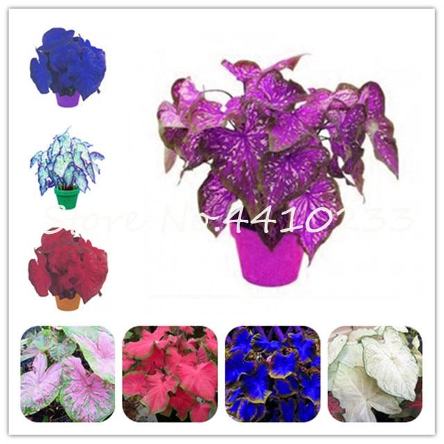 Vendita! 200 pz Colorato Caladium Nano Bonsai Pianta Bruciato Rosa Orecchio di E