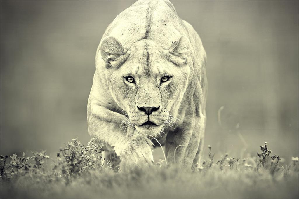 Resultado de imagem para leoa