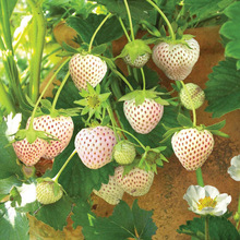 White Snow Strawberry Seeds 100pcs/pack