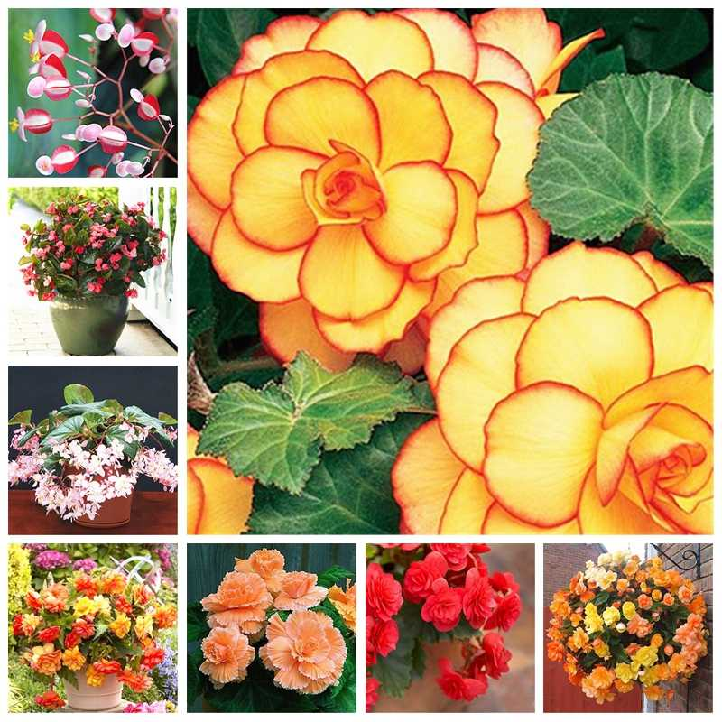 100 Pcs/bag Mixed Begonia Flower Potted Bonsai Indoor Decoratie Beautiful Garden Wall Plant Home Decor For Christmas Tree