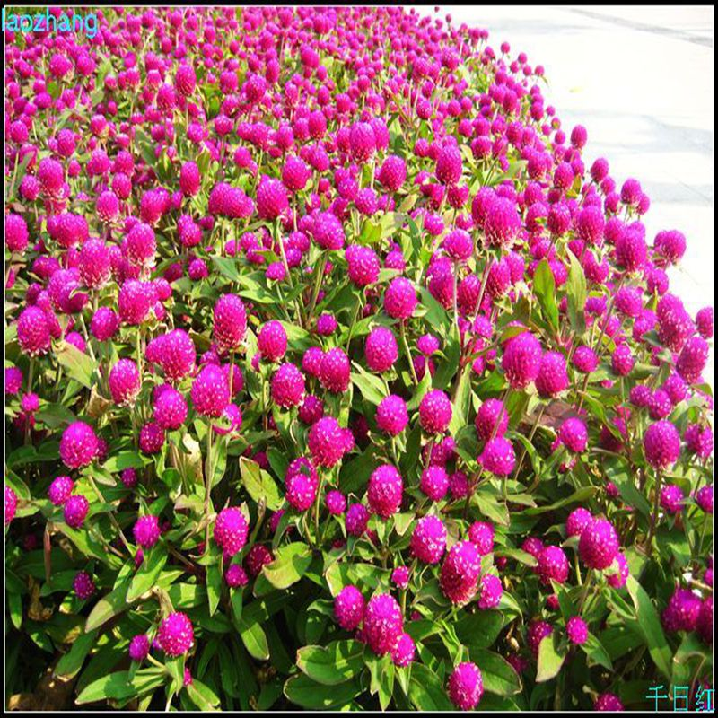 Globeamaranth flower seed sowing seed thousand days purple flower hundred days of red fireball landscaping easy living seeds.