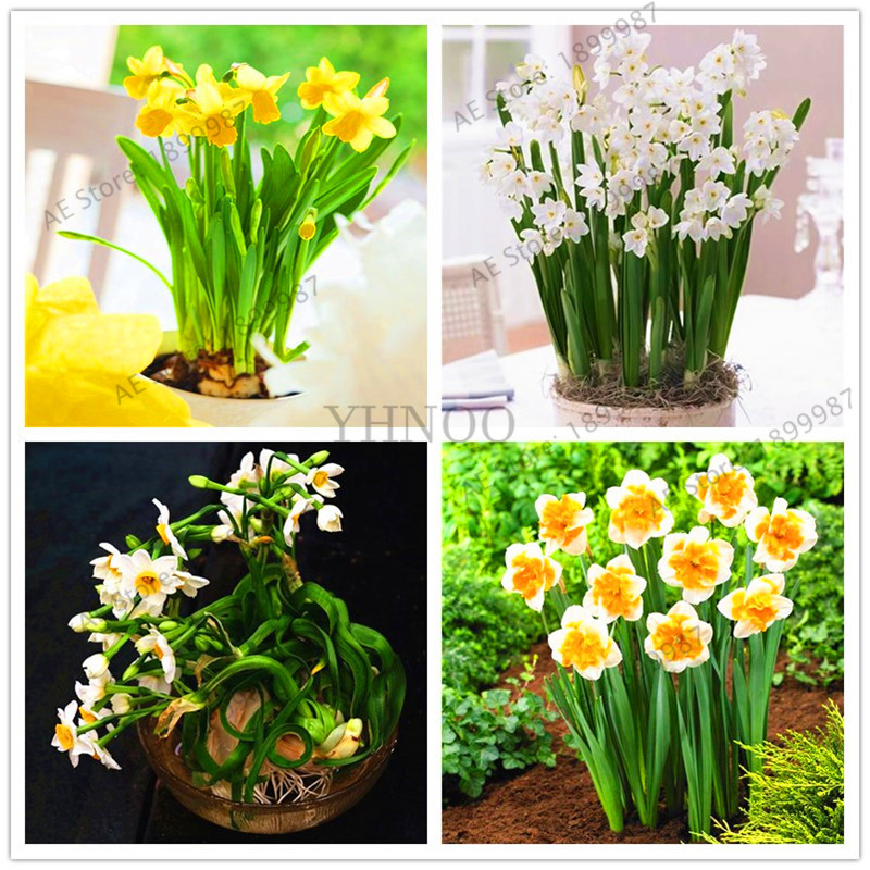 Garden Pots Planters Beautiful Bonsai Daffodil Flower Plants Clean Air Narcissus Plantas Flowers For Rooms 106 PCS