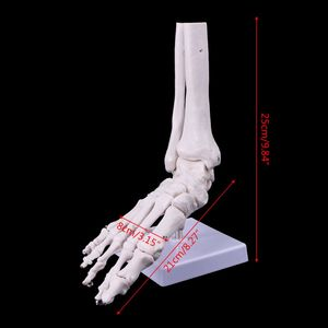 Image 5 - العلوم الطبية الاكسسوارات الحياة حجم القدم الكاحل مشترك التشريحية قالب هيكل عظمي الطبية عرض دراسة أداة دروبشيبينغ