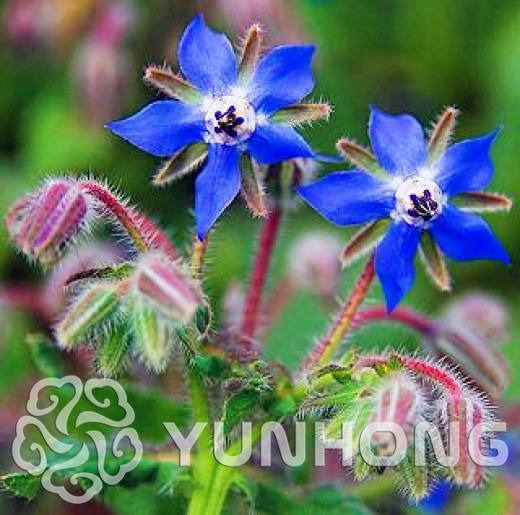 Hot Sale 100 pcs Borago Officinalis Flower bonsai For Home Garden Bonsai Outdoor Plants Big Bulbs Flowers Jardin Rare Dress