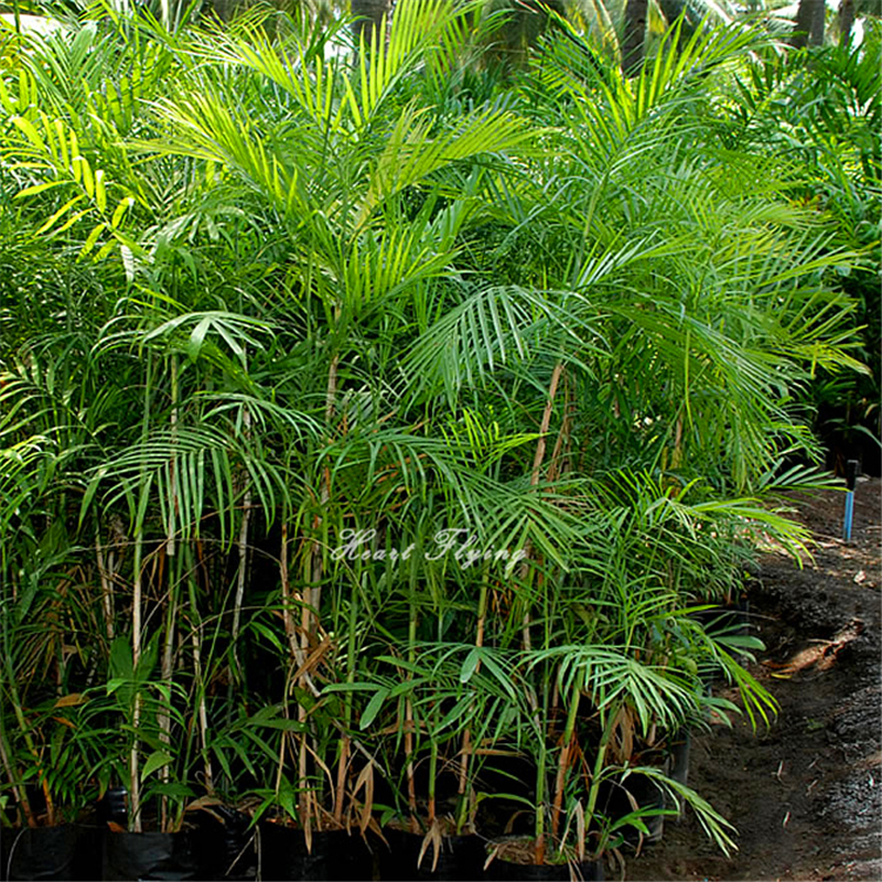 20 Pcs Palm Bamboo Seeds Lady Palm Tree Plant Seed Indoor Home Garden Plant  Tree Seeds In Bonsai From Home U0026 Garden On Aliexpress.com | Alibaba Group