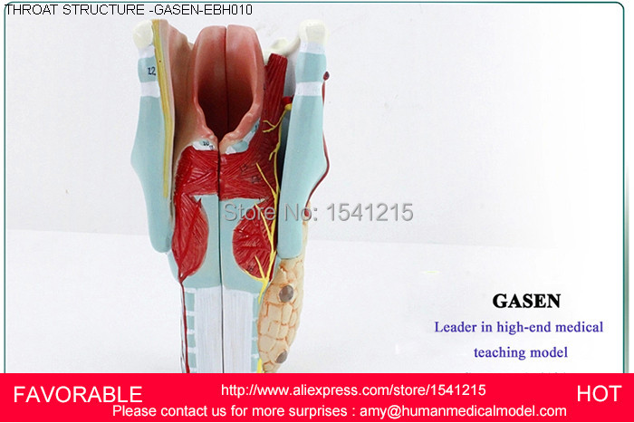 LARYNGEAL ANATOMY MODEL,THROAT ANATOMY ,MEDICAL ANATOMY MODEL,MEDICAL  SUPPLIES OF LARYNGEAL STRUCTURE MODEL-GASEN-EBH010 anatomy of a disappearance