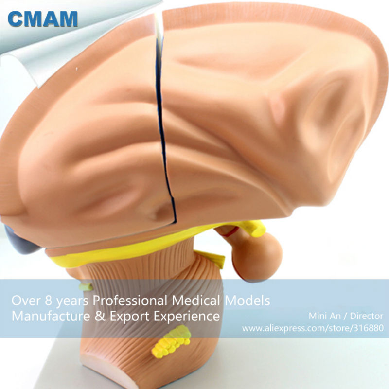 12411 Cmam Brain13 Enlarge 3x Life Size 4 Parts Diencephalon Model Anatomy Models Brain Models In Medical Science From Office School Supplies On